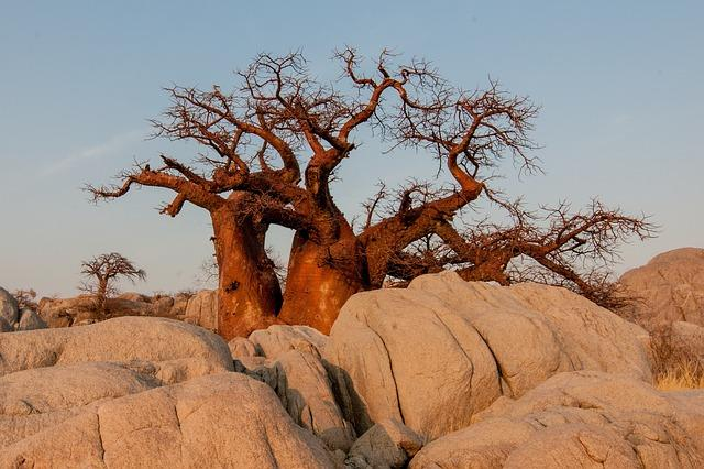 Baobab, de onbekende superfood!